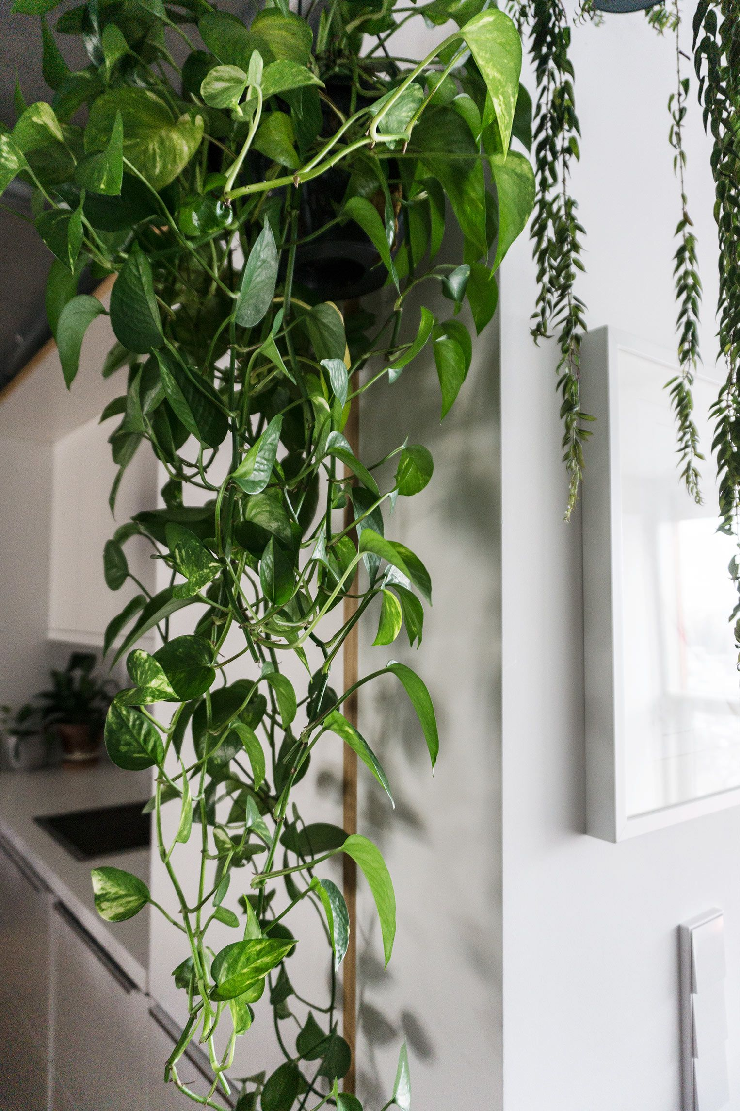 training a large pothos into a pyramid--maybe use a garden tuteur ...