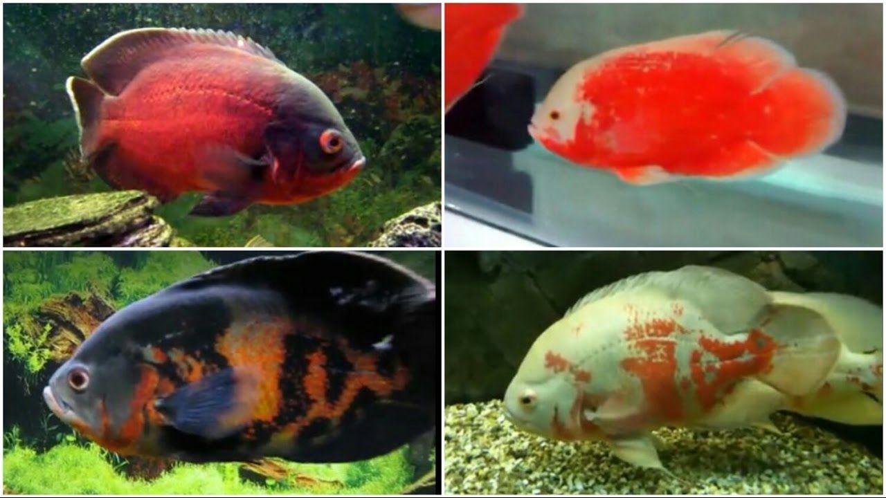 12 Different Types Of Oscar Fish Oscar Fish Fish Breeding Fish
