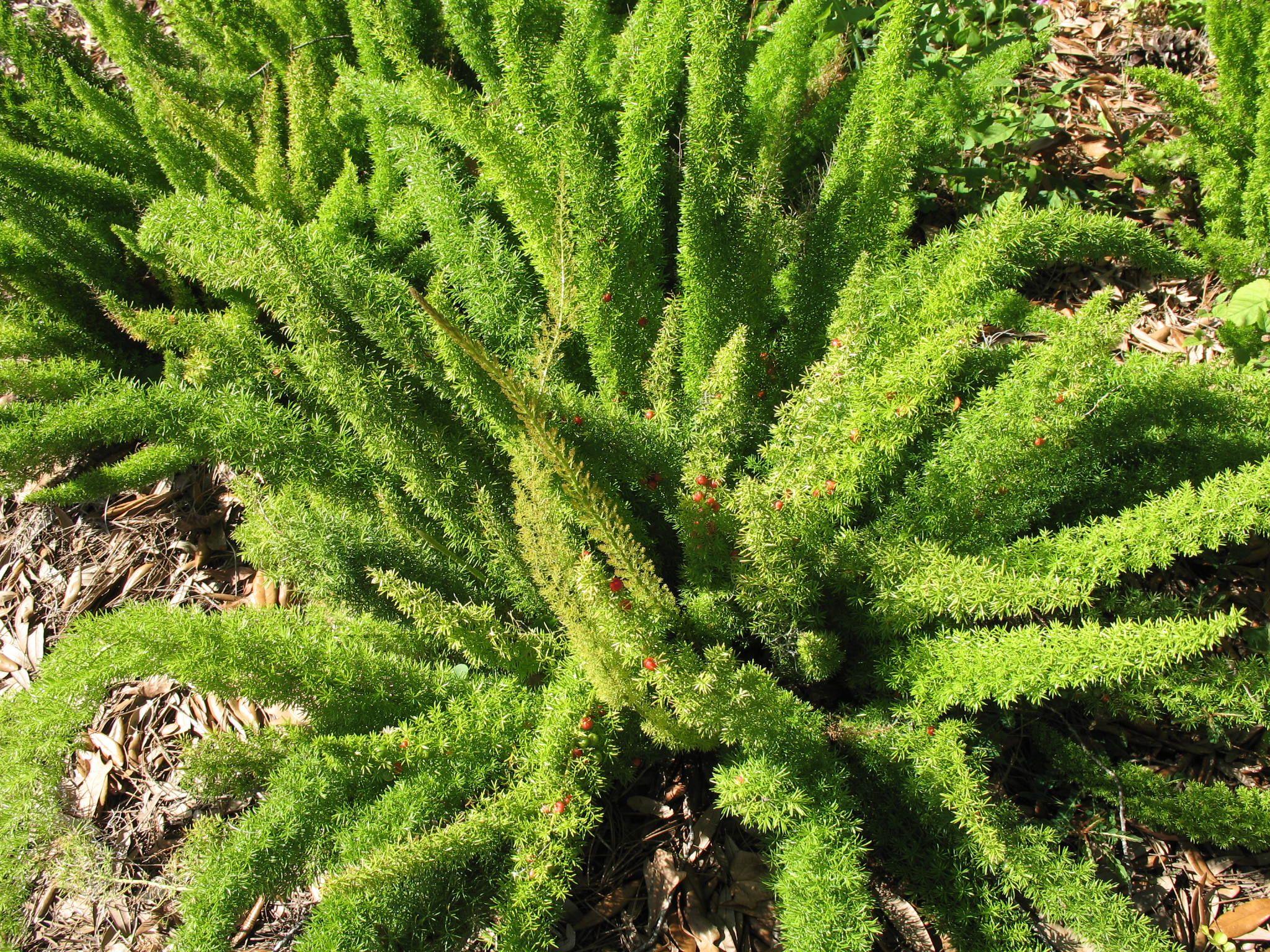 Foxtail Asparagus Fern Asperagus Densiflorus Meyers 400 x 300