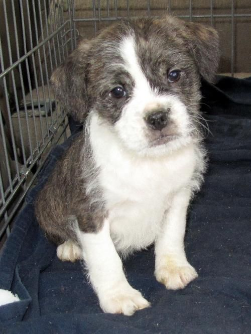 boston terrier jack russell boston terrier jack russell mix so scruffy and cute 6756