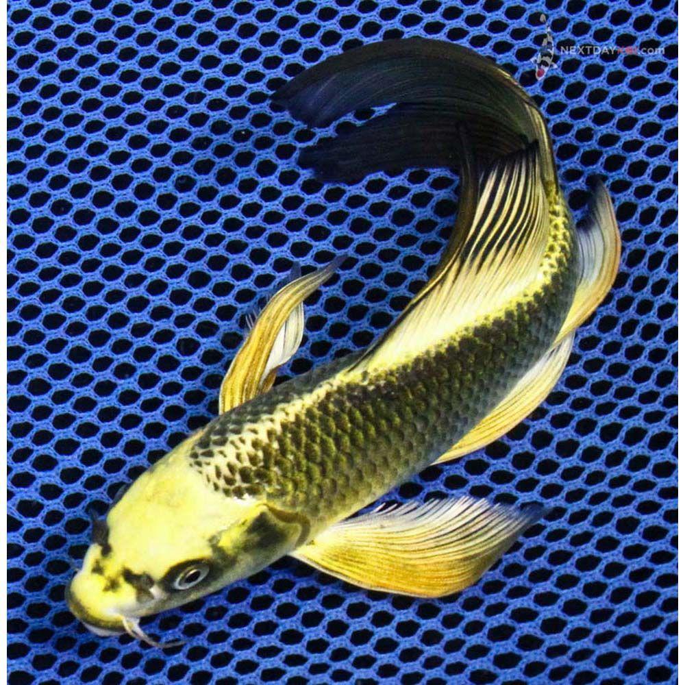 6 5 Ki Matsuba Butterfly Koi Koi Fish For Sale Butterfly Koi Koi Fish For Sale Koi