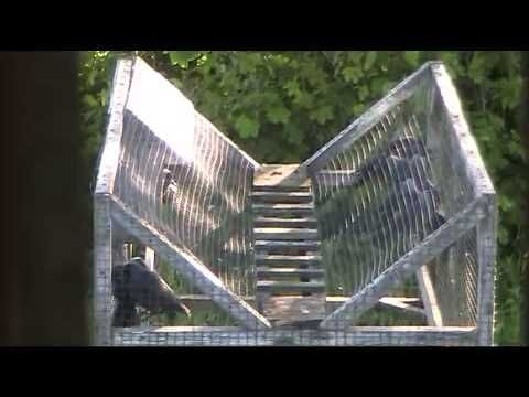Ladder Trap Magpie/Jackdaw - YouTube
