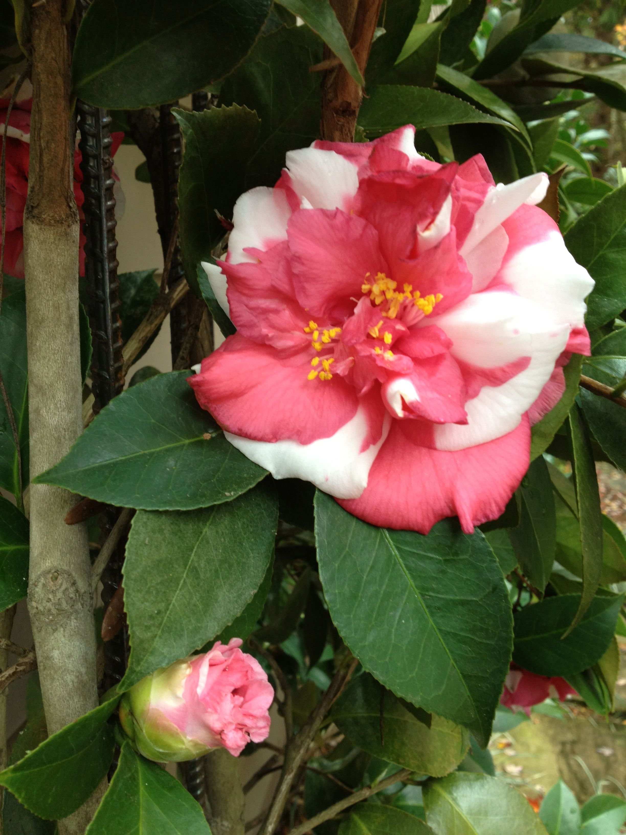 Camellia Japonica Daika Gura Variegated Early Bloomer Red And White Camellia Plant Painting The Roses Red Beautiful Flowers