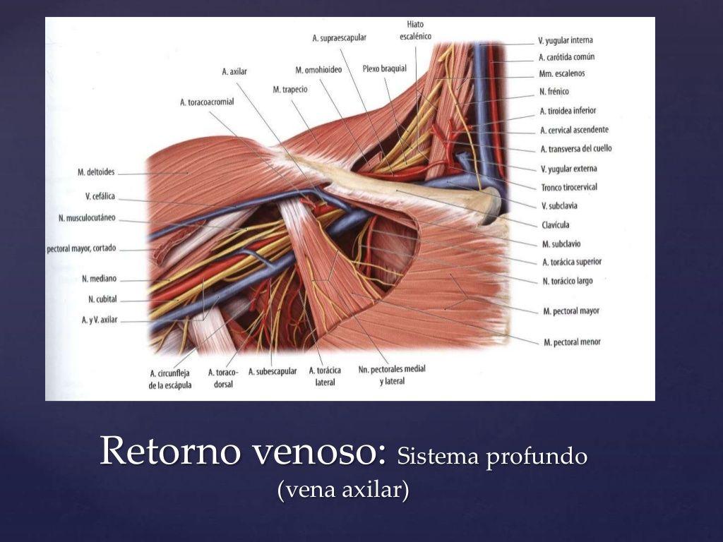 Drenaje linfático vena axilar | Anatomía para el movimiento ...