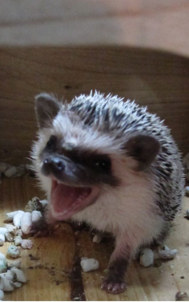 Hedgie Hedghog Hedgehog Pet Animals Amazing Baby Hedgehog
