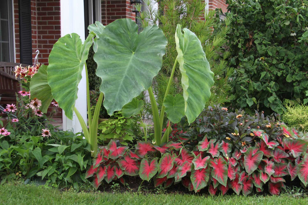 Shake Up Your Garden With Elephant Ears - Longfield Gardens