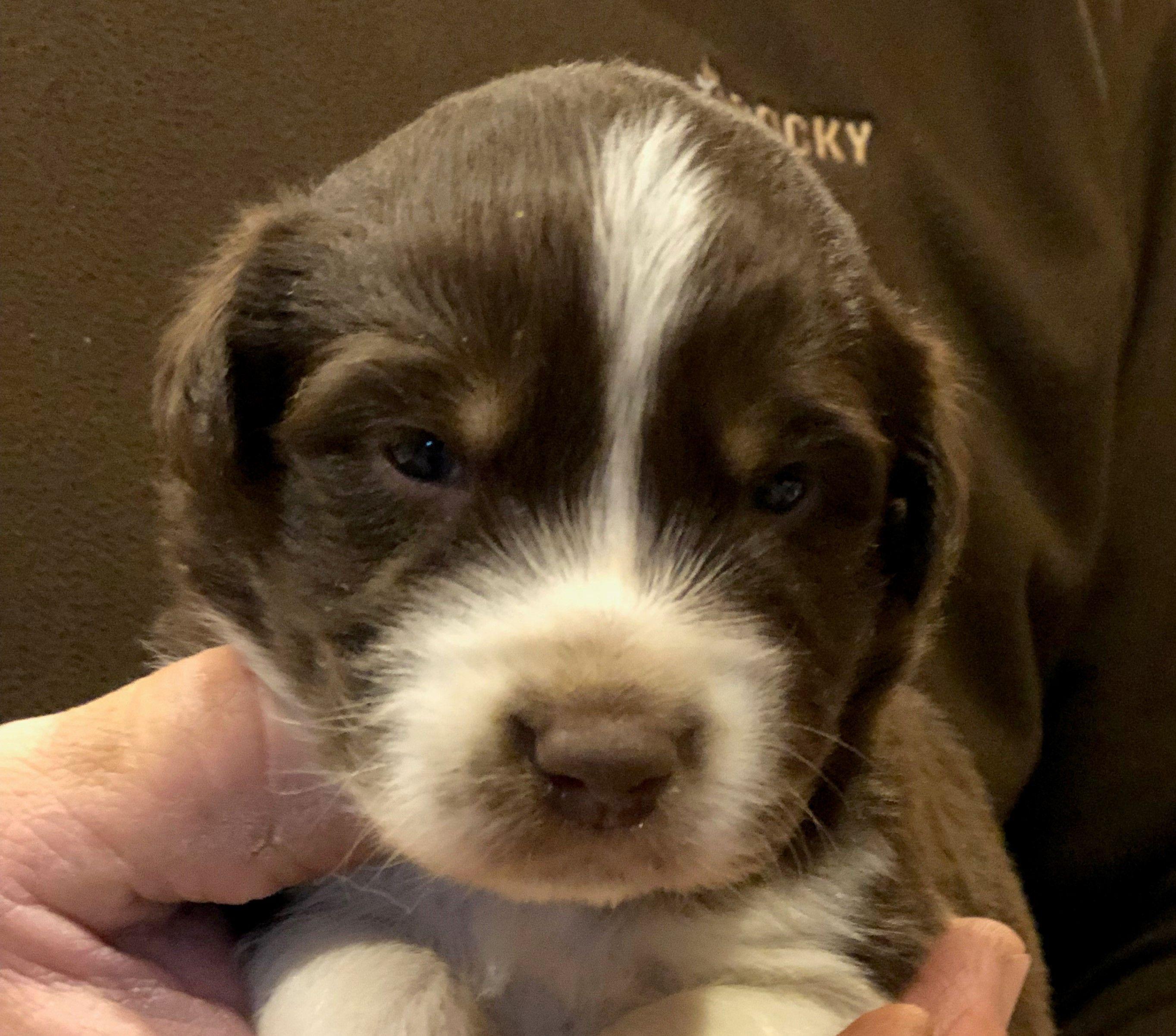 Willow a female ASDR/CKC Australian Shepherd puppy for