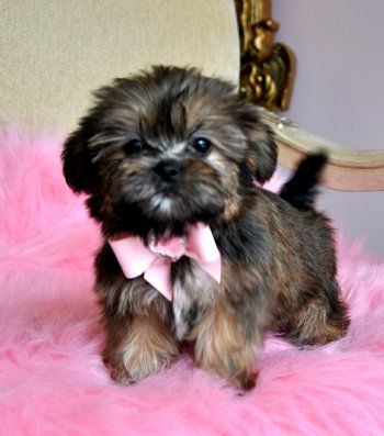 Tiny Shorkie Puppystunning Princesswow Perfect Teddy Bear Face