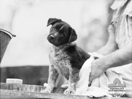 Atherton Qld 1943 07 16 The Mascot Of A Cookhouse At The 9th