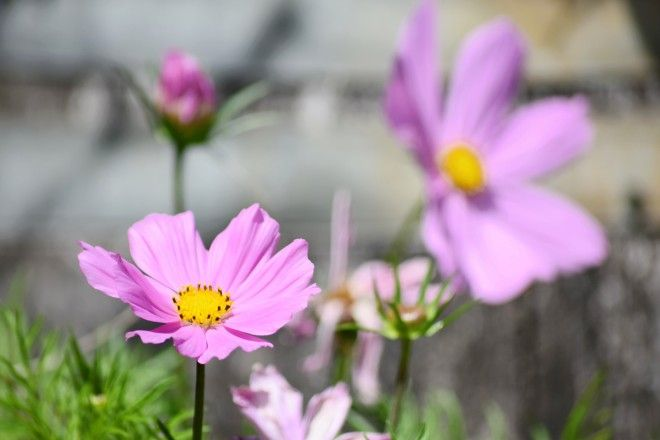 Cosmos Top 5 Annual Flowers