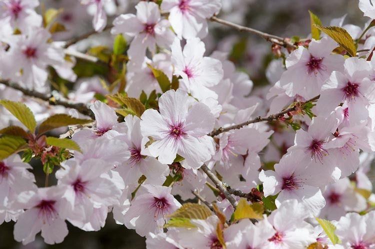 Prunus The Bride Flowering Cherry The Bride Cherry The Bride Prunus Incisa The Bride C Flowering Cherry Tree Ornamental Cherry Cherry Tree Varieties