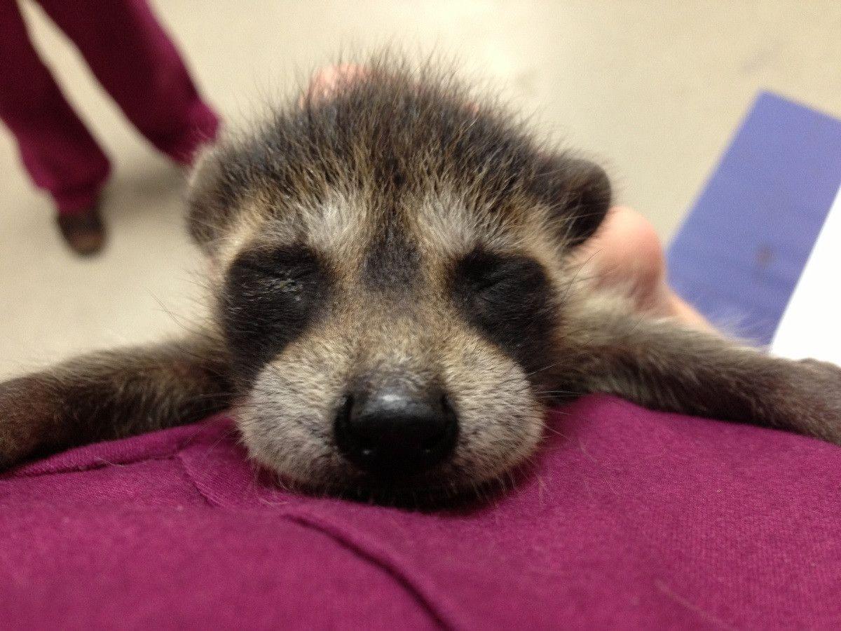 baby raccoon . It doesn't get much cuter than this! http://ift.tt/2mlPtlG