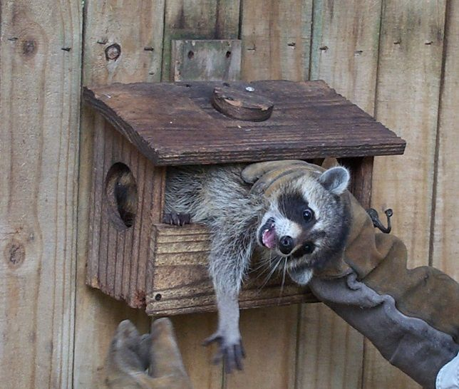 How To Get Rid Of Raccoons Getting Rid Of Raccoons Bird Houses