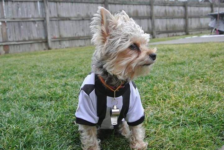 Yorkie Yorkshire terrier ready for game day | Yorkie ...