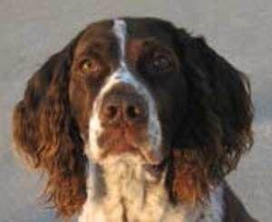 Lance Ga Is An Adoptable English Springer Spaniel Dog In Atlanta Ga Age 7 Years Br Color Liver W English Springer Spaniel English Springer Spaniel Dog