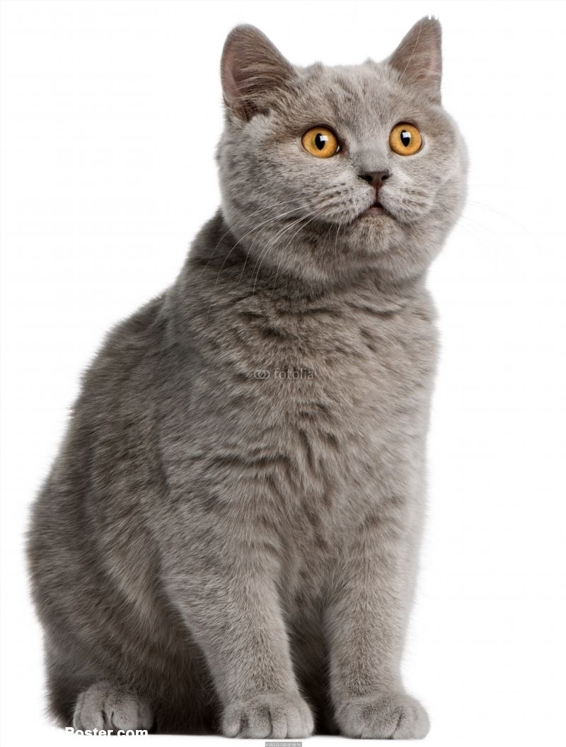 British Shorthair Kitten 5 Months Old Poster Id F30121720 British Shorthair Kittens British Shorthair Cat Posters