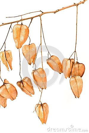 Golden Rain Tree Seed Pods Koelreuteria Paniculata Golden Rain Tree Seed Pods Tree Seeds