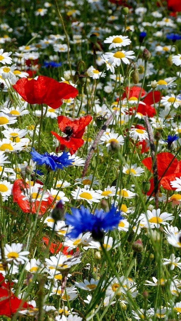 Photo of daisies_poppies_cornflowers_ears_meadow_summer_40889_640x1136