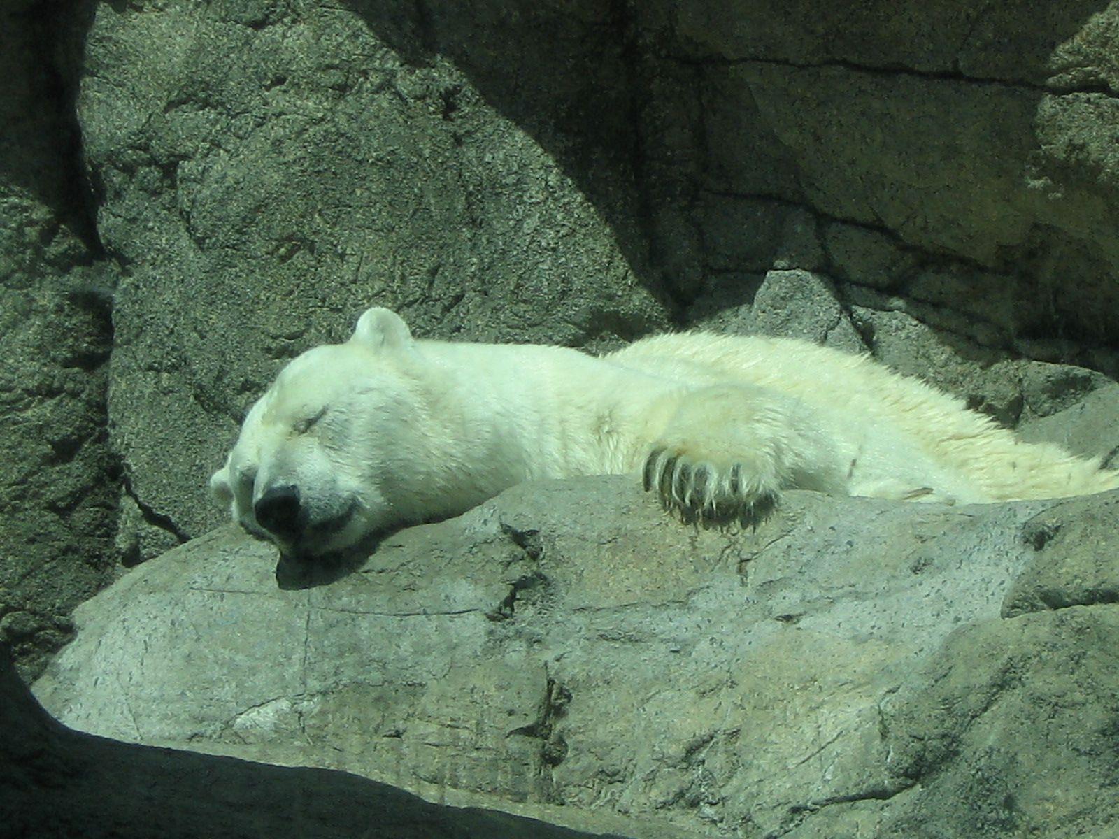Polar bears hibernate in the summer time. Polar bear