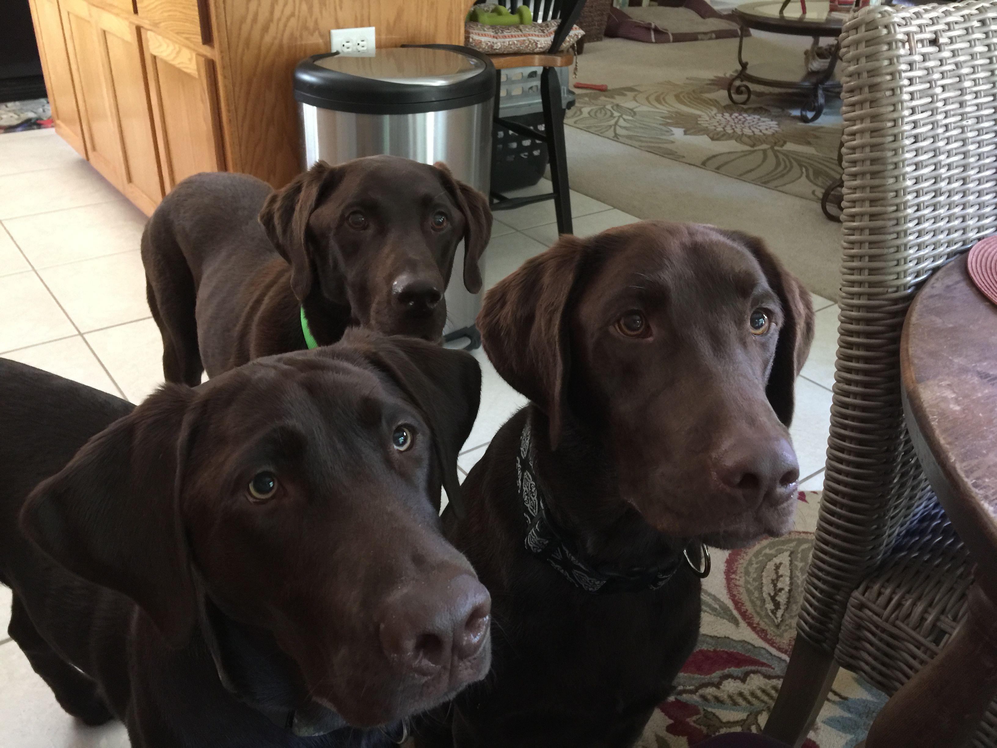 My three sons | Lab puppies, Chocolate lab, Dog love