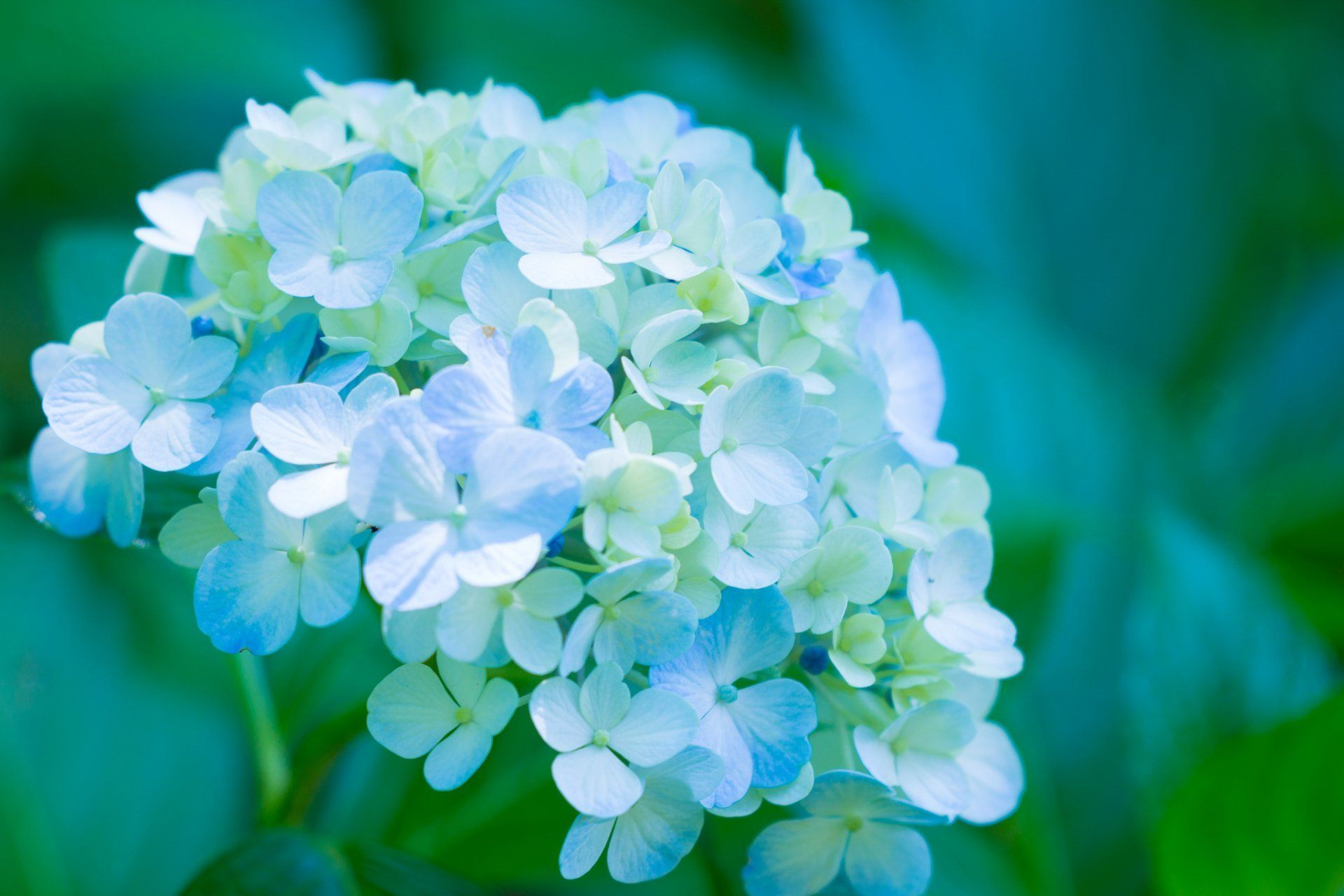 Earth Hydrangea Flowers Flower Close Up Blue Flower Nature Wallpaper Blue Close Blue Close Closeup In 2020 Flower Close Up Blue Flower Wallpaper Hydrangea Flower