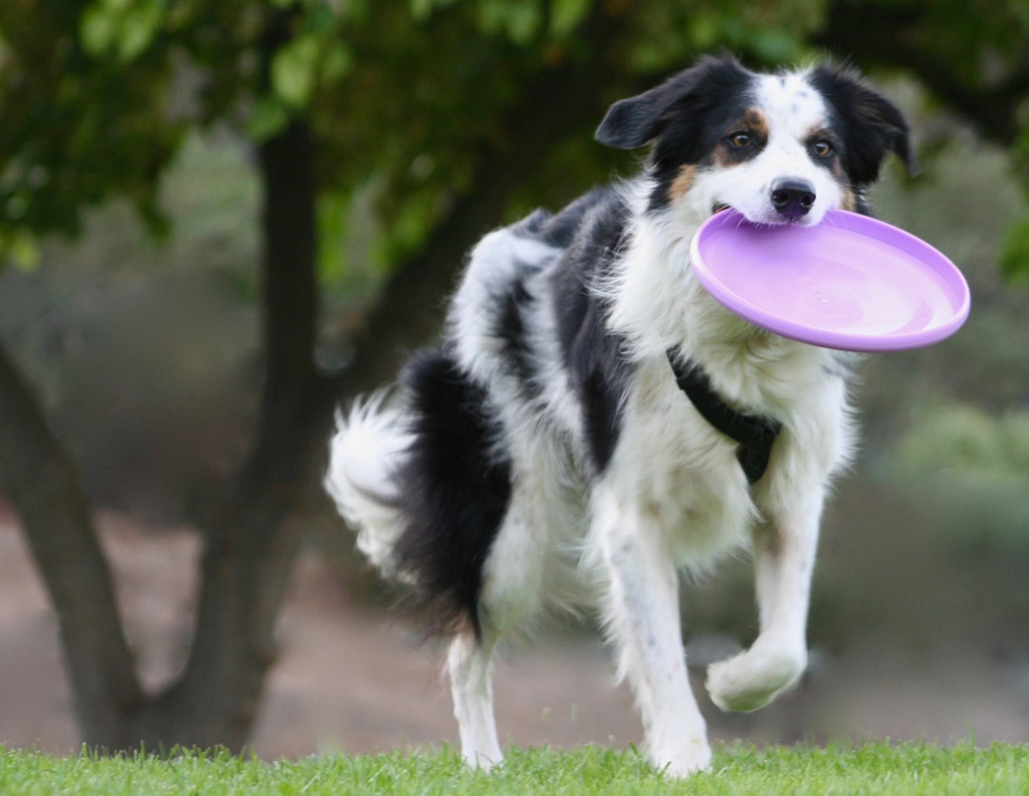 Pin By Pam S Dog Academy On Twix The Smartest Border Collie