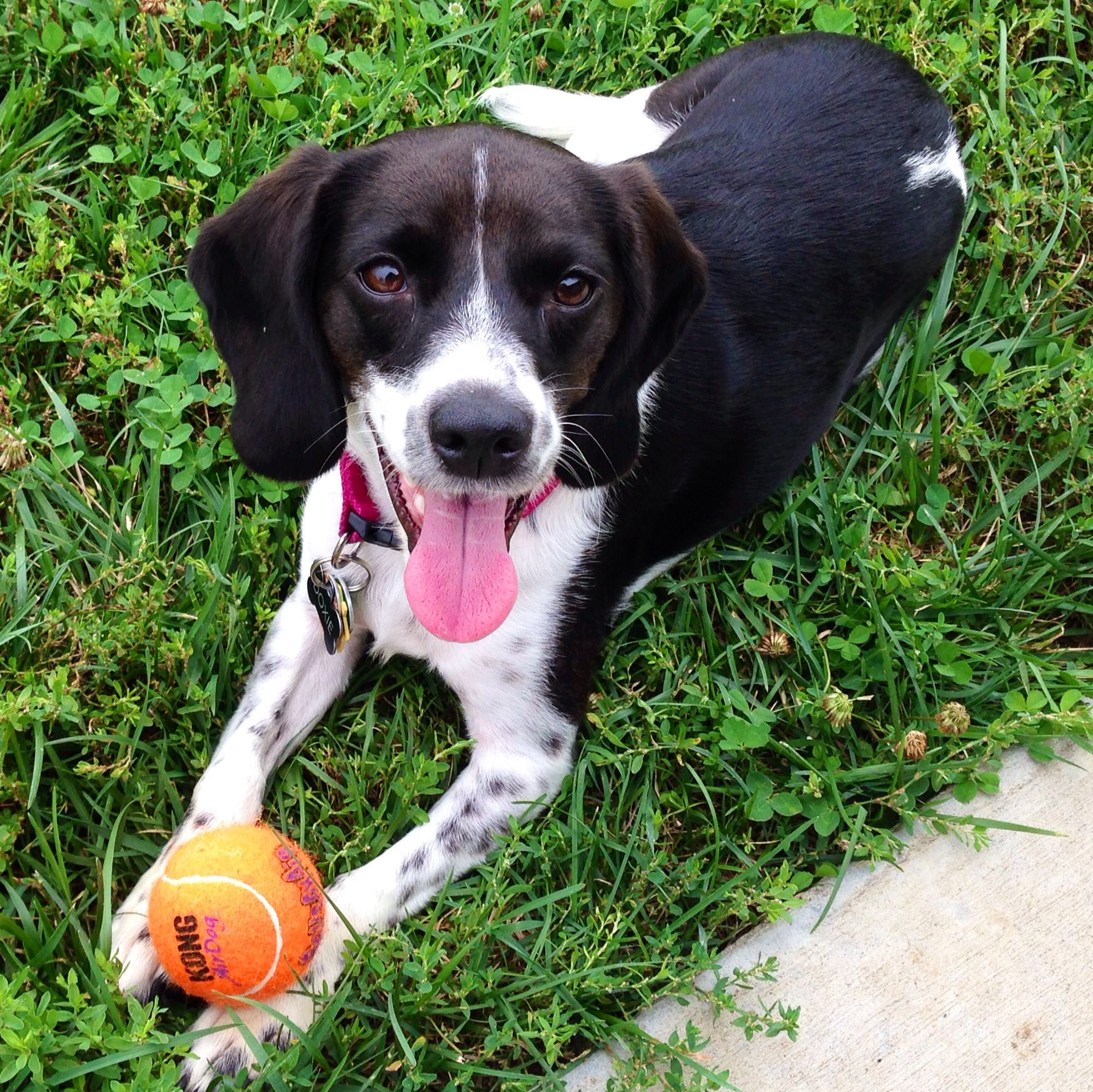 Beagle German Short Haired Pointer Mix Doxie Great Dog