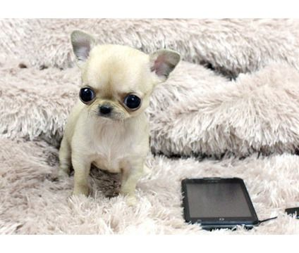 Berd Teacup Chihuahua Puppies is a Chihuahua Puppy For Sale
