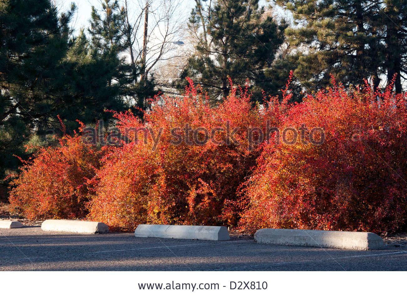 Vanhoutte Spirea in fall leaf color Stock Photo | Garden Flowering ...