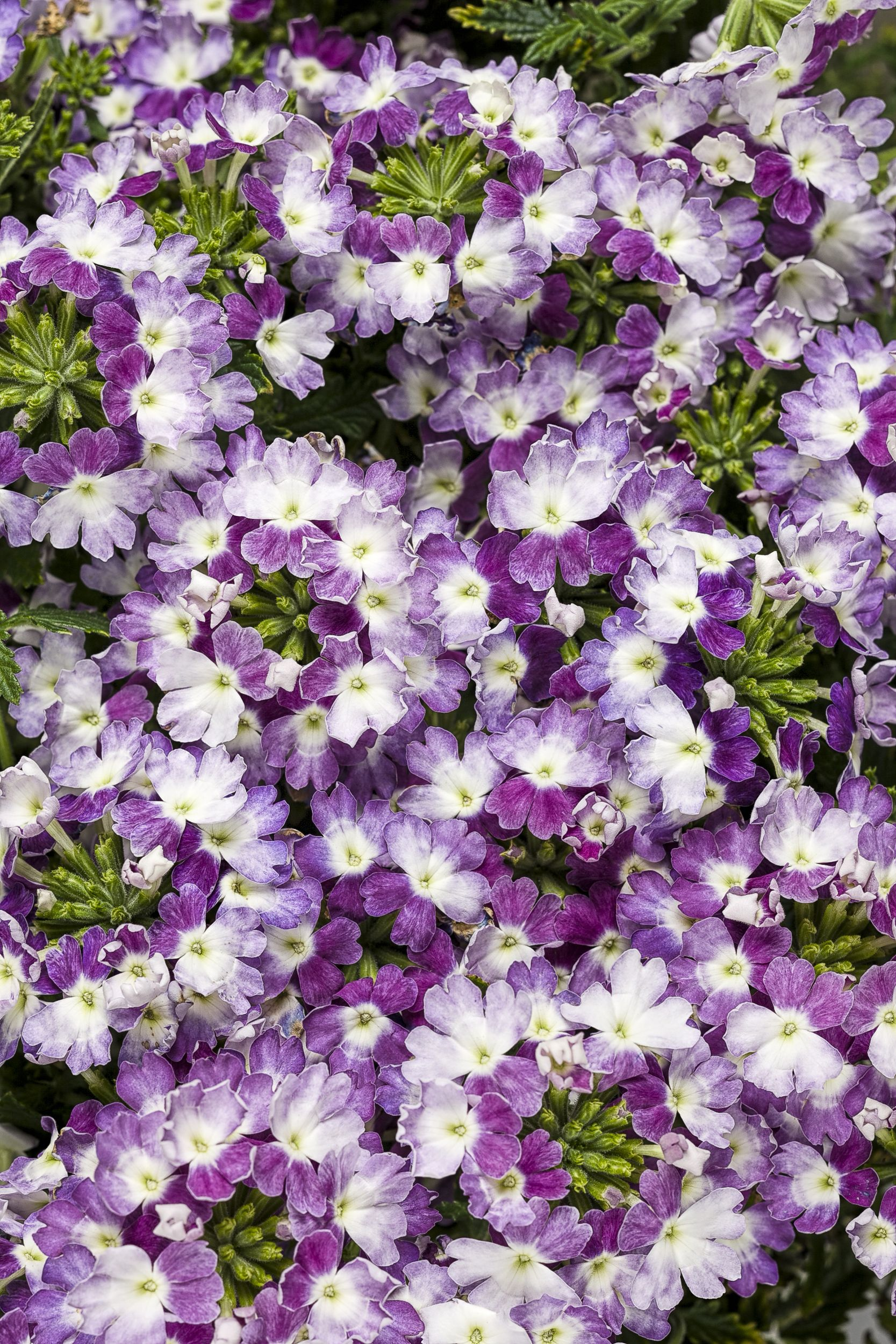 Dress up your garden with Superbena Sparkling Amethyst. NEW this spring, these novel ci-color blooms will impress all summer long, in your landscape or containers. Put this one on your must-have list!