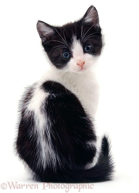 Photograph of Blackandwhite kitten, sitting, looking