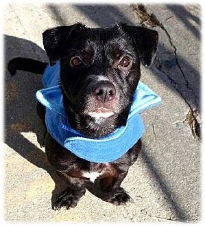 New York Ny Corgi Patterdale Terrier Fell Terrier Mix Meet Jiggy A Dog For Adoption Http Www Adoptapet Com Pe Kitten Adoption Pets Patterdale Terrier