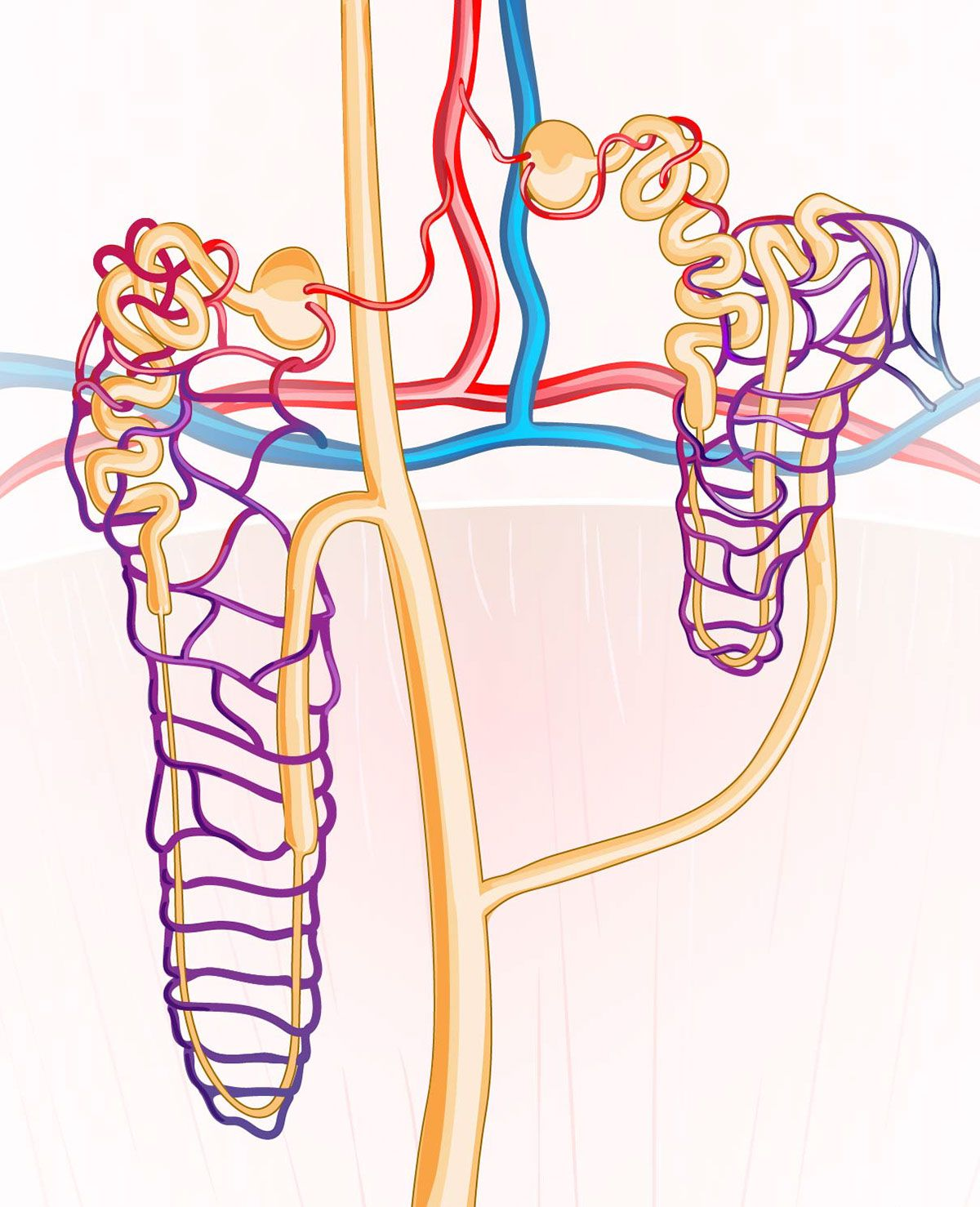 there are two types of nephrons: cortical and juxtamedullary