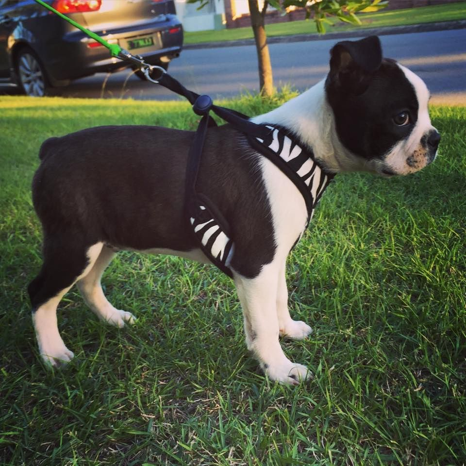 11 Weeks Old Boston Terrier Named Freddy From The Gold Coast In Australia Boston Terrier Names Boston Terrier Boston Terrier Love