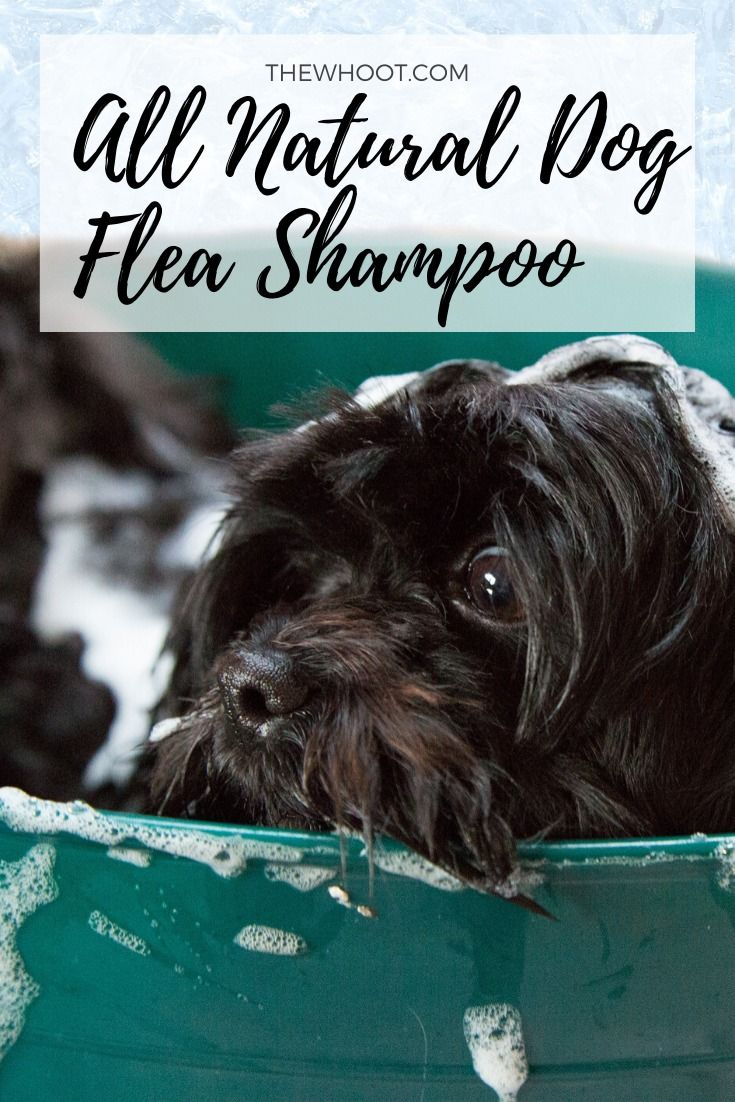 Dog flea shampoo recipe 4 ingredients the whoot in
