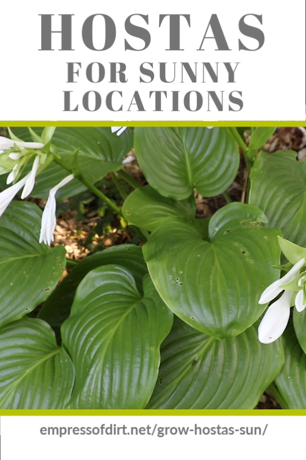 Photo of Hostas for Sunny Locations