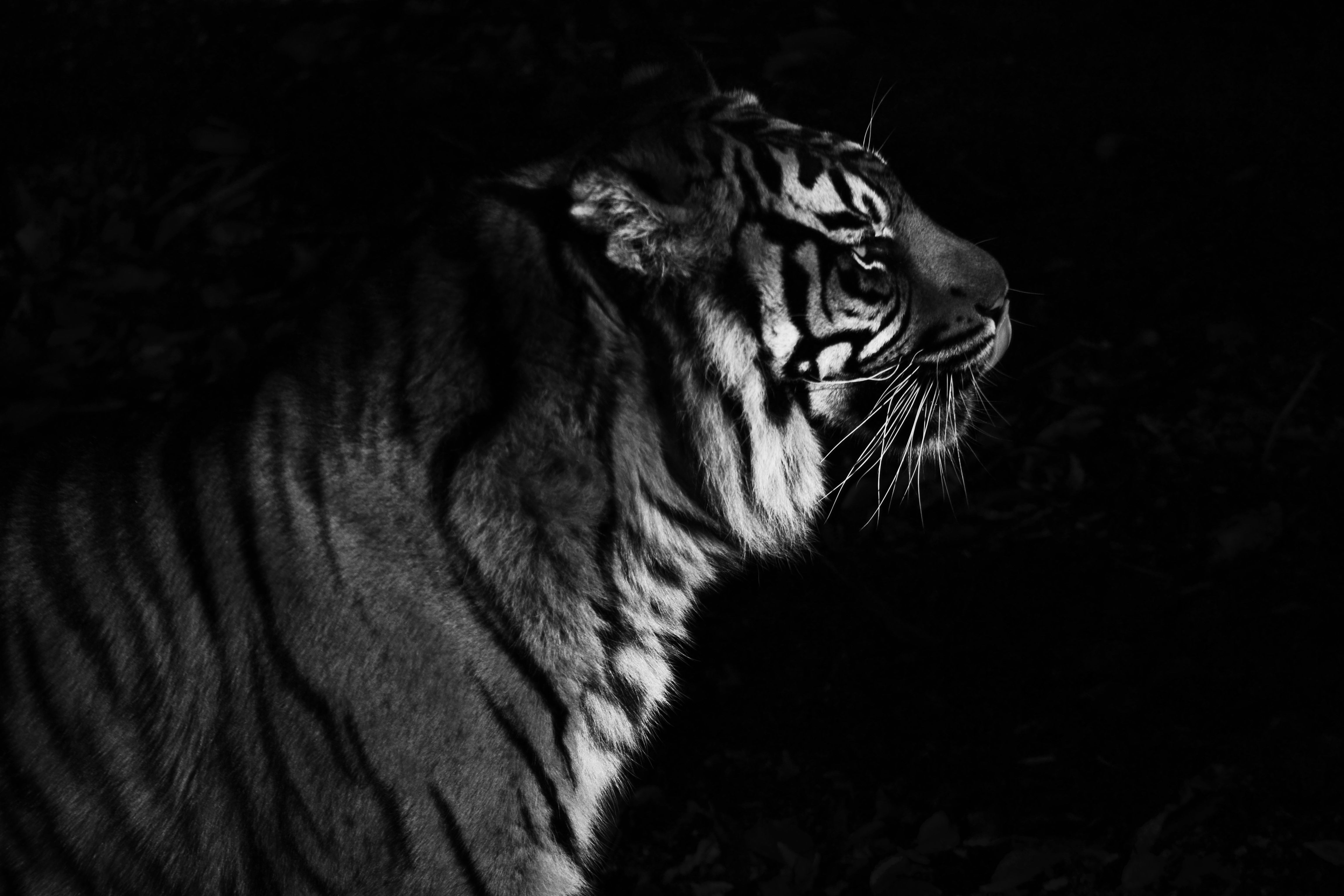 And lord tiger in black and white...