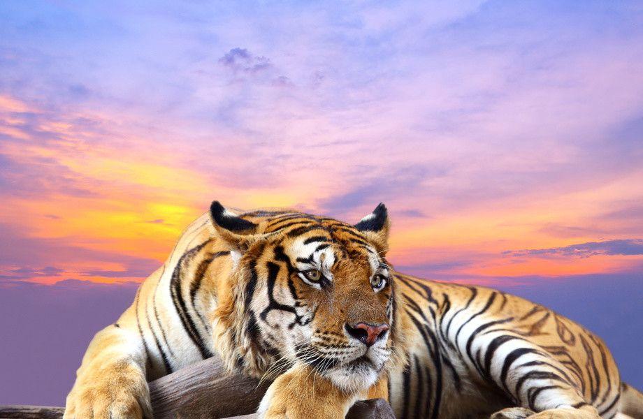 Tiger At Sunset 4k Ultra Hd Wallpaper 4k Wallpaper Net Pet Tiger Tiger Wallpaper Animal Wallpaper