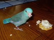 The 5 Best Birds For Apartment Living Parrotlets
