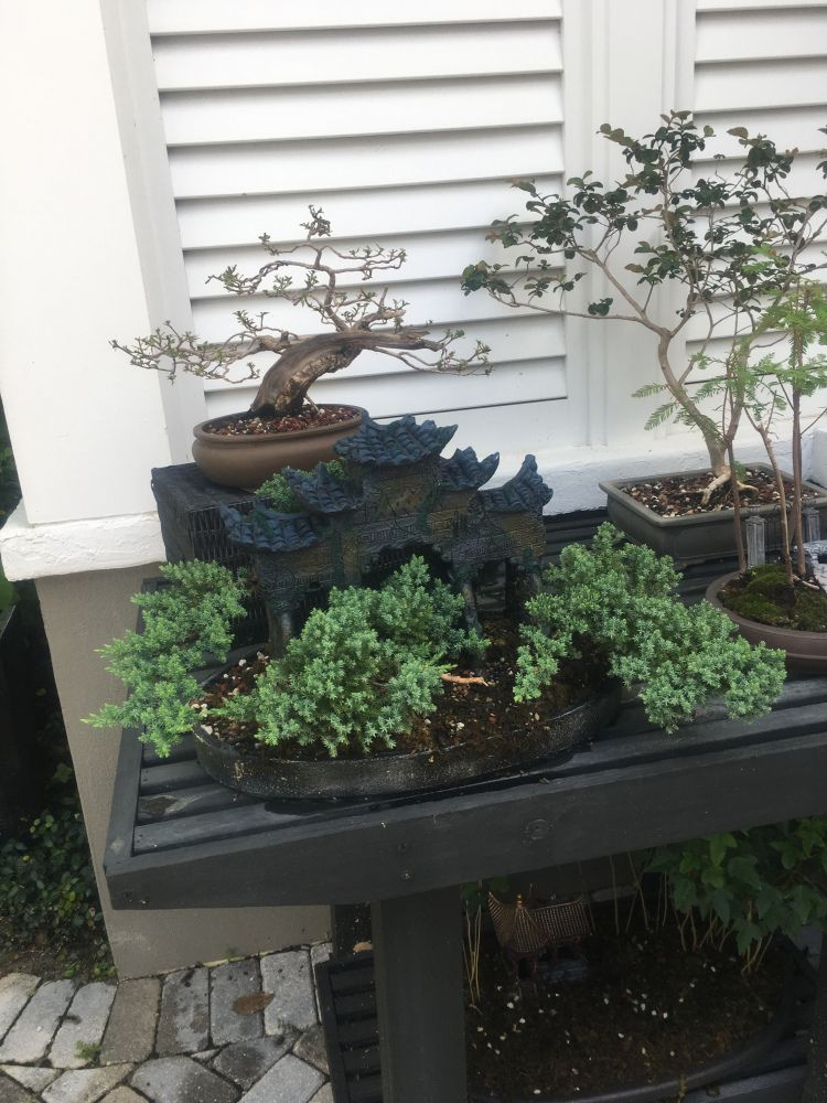 Who Doesn T Have A Buttonwood In Florida Adam S Art And Bonsai Blog Buttonwood Plant Leaves Growing Tree