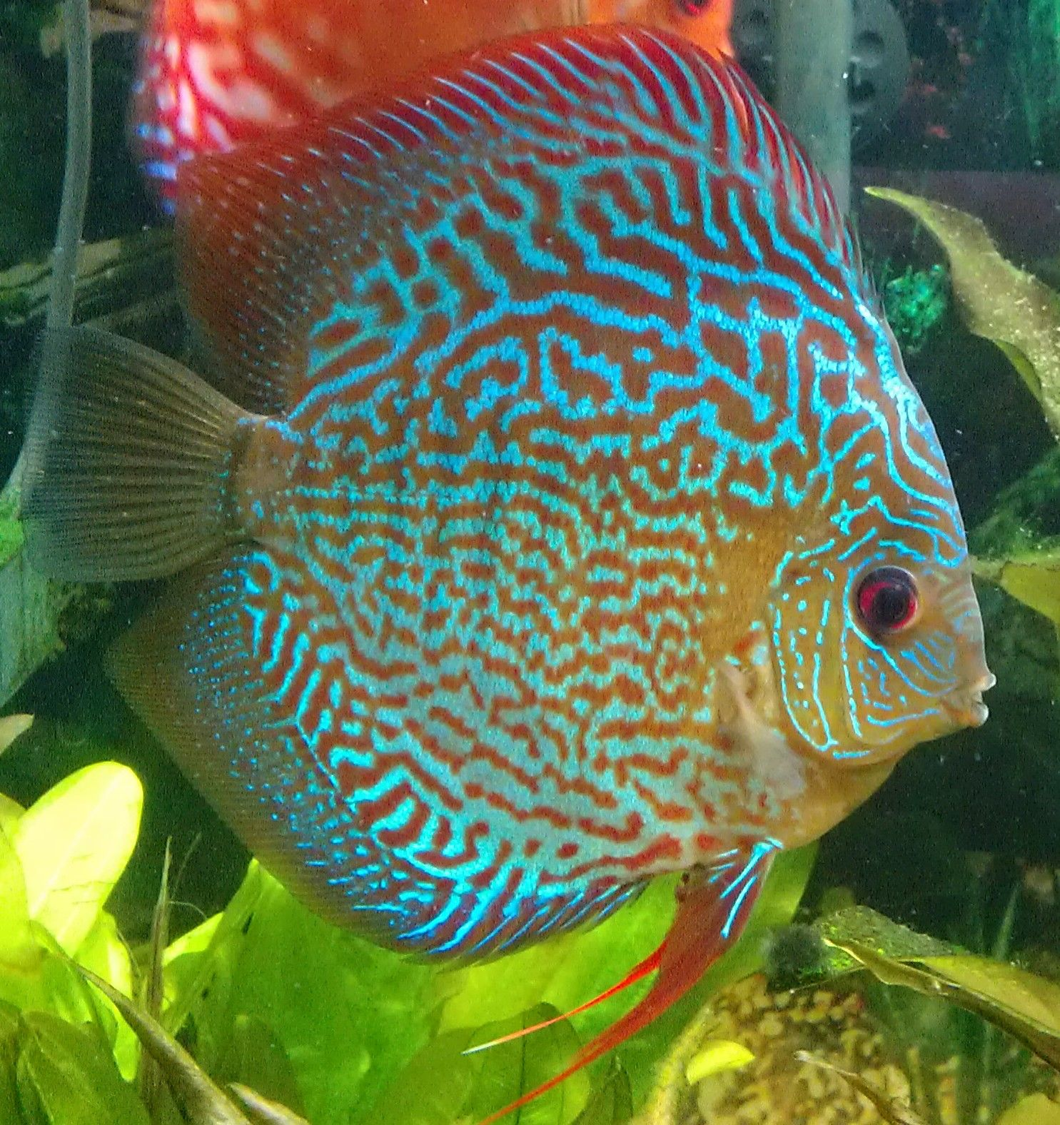 Beautiful discus for the love of aquariums pinterest for Big freshwater aquarium fish