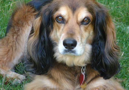 Dachshund Spaniel Mix Louie Is That You Dachshund Mix