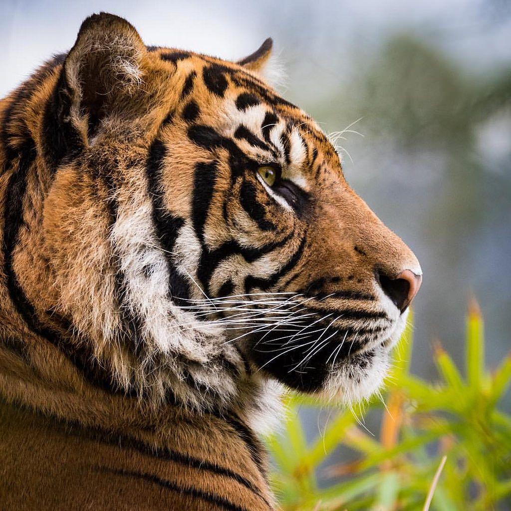 Iphone Siberian Tiger Black Wallpaper Fotografi Hewan Harimau Putih Kucing Besar
