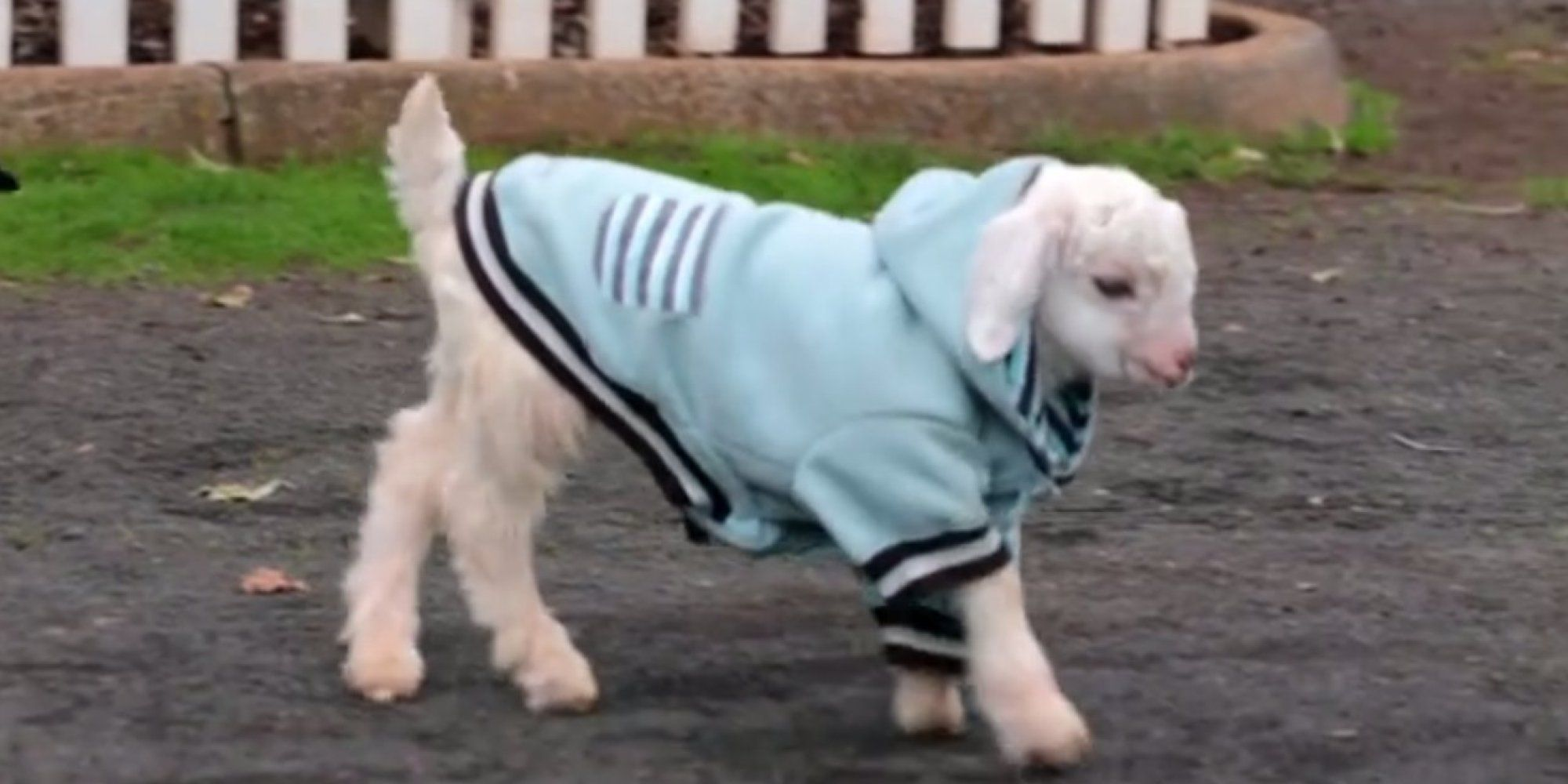 Frostie, Baby Goat Who Ditched His Wheelchair For Dancing, Is