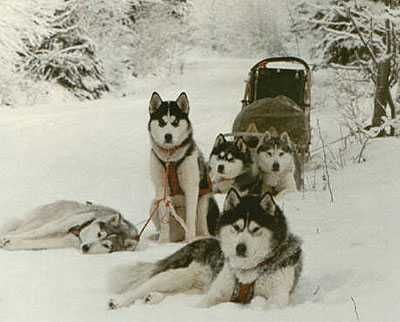 It Was A Normal June Day When Paul Took His Siberian Husky Team