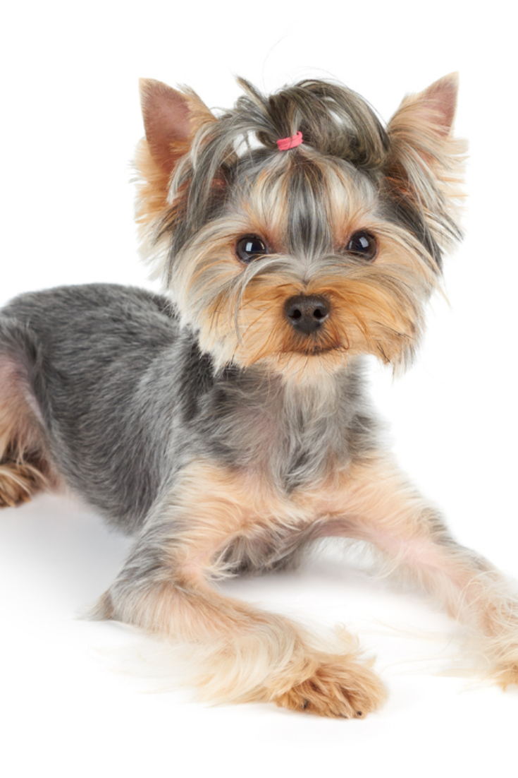 Yorkshire Terrier With Short Hair Lies On White Background Yorkshireterrier Terrier Yorkie Lovers Yorkshire Terrier