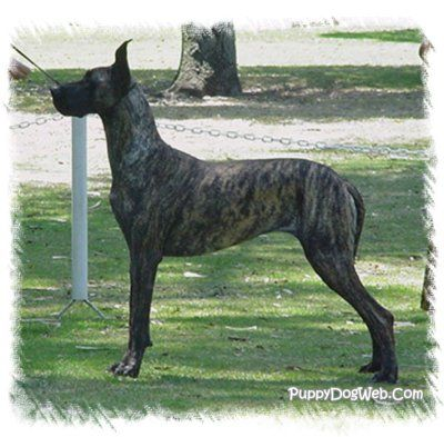 Would Love To Have Me A Great Dane One Day Great Dane Puppy