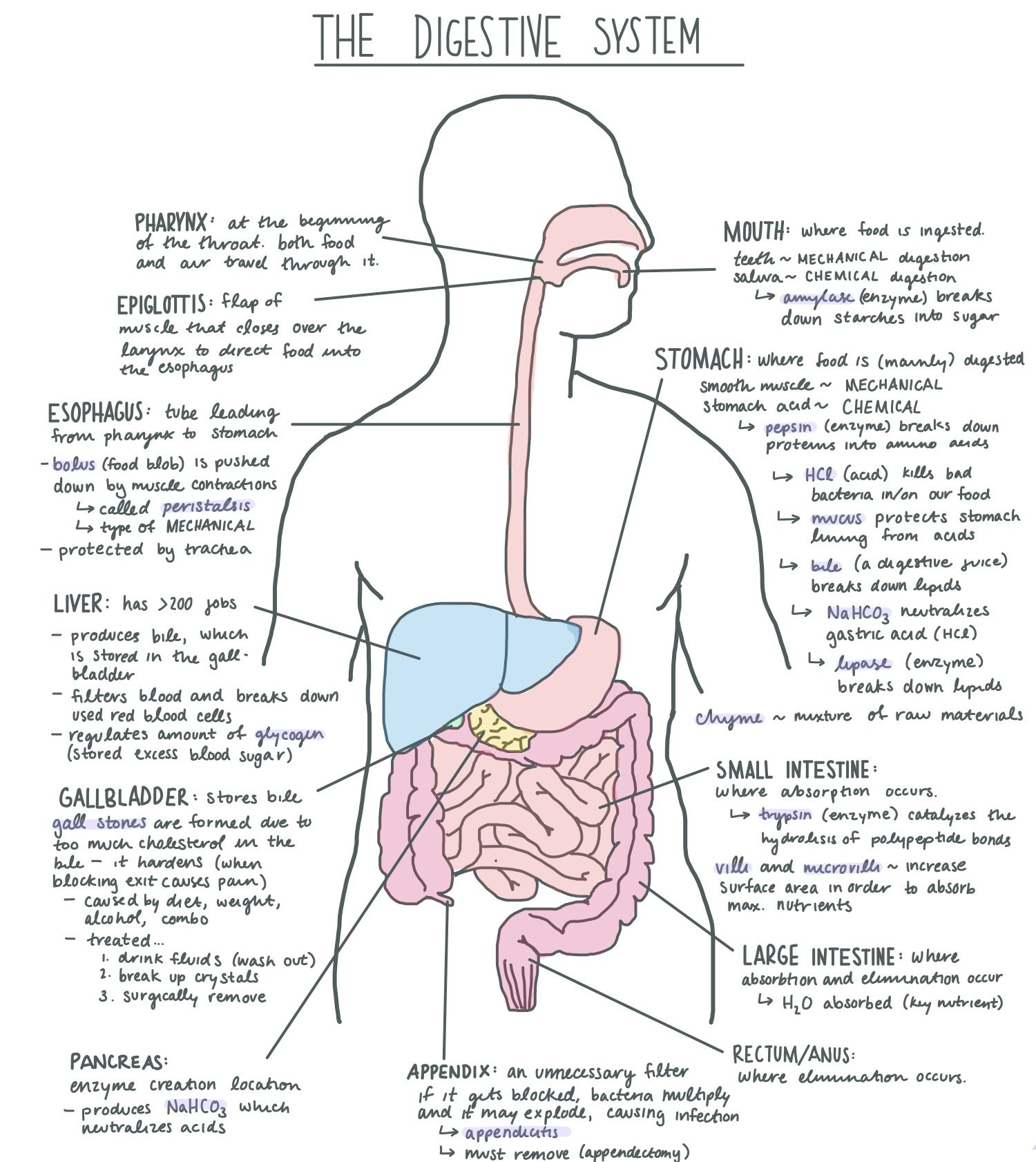 Digestive System Facts Cool Kid Facts Digestive System Diagram Digestive System Anatomy Medical School Studying