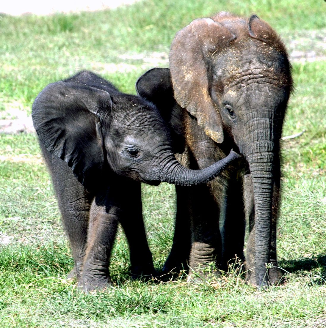 Pin By Elle Renn On Save The Elephants African Elephant Elephant Love Animals Beautiful