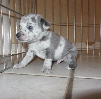 Blue Merle Tuxedo Rat Terrier Puppy